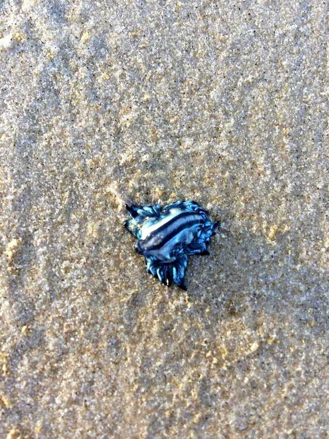 Cassie Chloe posted this photo of an unusual sea creature on the Ballina Information Exchange Facebook page.
