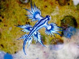 Glaucus atlanticus, or blue dragon, in the water.