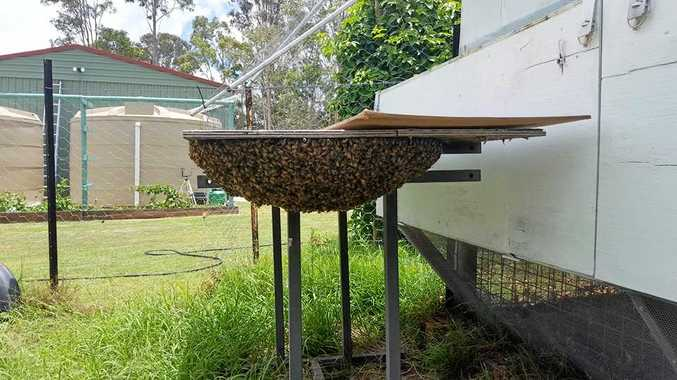 BEE-ING CAUTIOUS: Heidi Carrington was called to her friend's house to remove a massive swarm of honeybees on Sunday.
