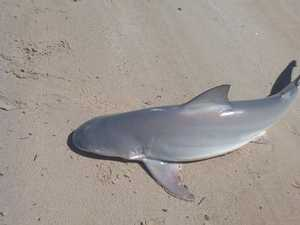 Shark in river at Coraki