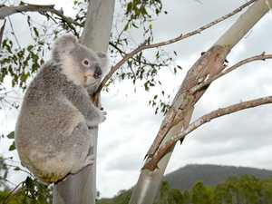 Highway upgrade criticised for 'harming' koalas