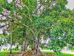 A gorgeous fig tree out at Great Marlow submitted for Cover Image competition on The Daily Examiner's Facebook page on Monday, 13th November, 2017.