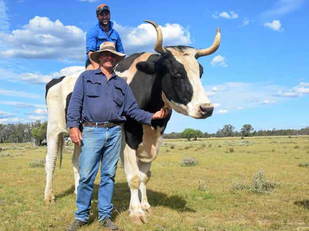 MUCH LOVED: Jesse Jones on peaceful bullock Reggie and his owner Col Budden.