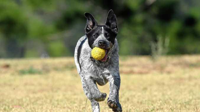 REGISTER YOUR PET: Bundaberg Regional Council says thousands of dogs remain unregistered.