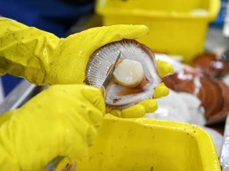 Jody Kampf shucking scallops at the Australian Seafood.com factory at Burnett Heads.