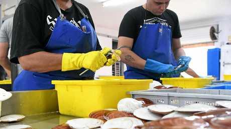 SHELLING OUT: Jody Kampf and Benji Rowland shucking scallops at Australian Seafood.com.