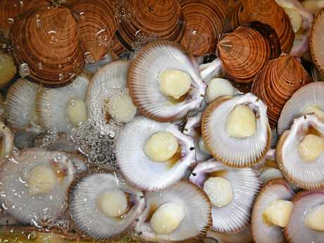 SEA SENSATION: Freshly processed scallops at Australian Seafood.com's factory at the port.