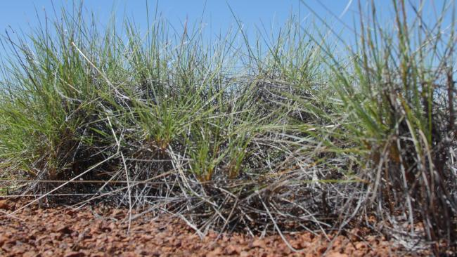 Spinifex tastes like salt and vinegar chips. Source: Supplied