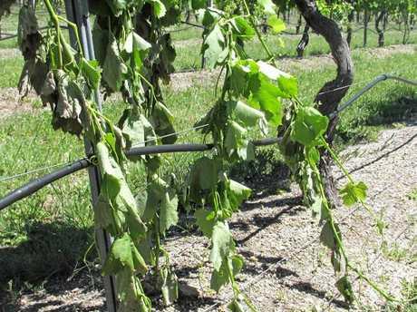 Damaged Fiano on Cheryl and Brad Hutchings' Savina Lane Wines vineyard.
