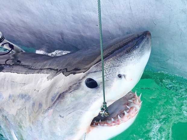 SHARK ALERT: Surfers are urged to be cautious about entering the water at Lighthouse Beach, Ballina, today after a great white shark was detected by DPI.