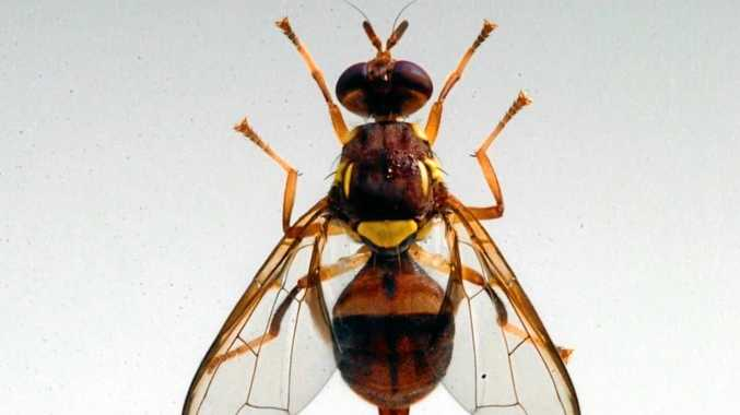 Labor says it will tackle fruit flies.