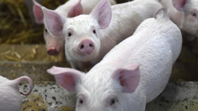 Generic photograph of piglets.