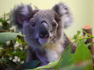 Baby koala infested with 100 ticks