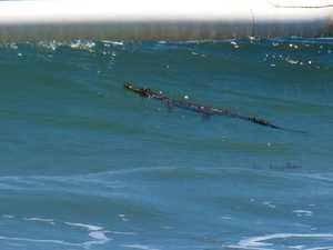Croc snapped inside stinger nets