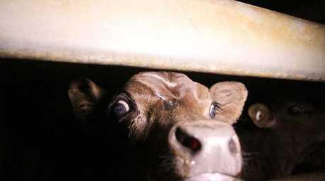A calf inside the Highchester Abattoir