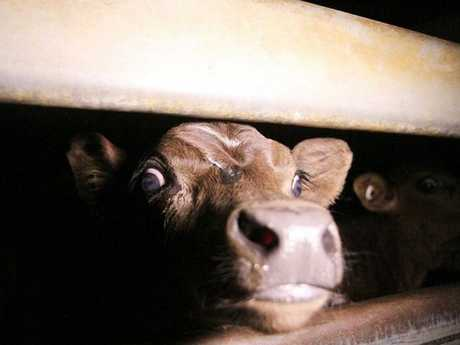 A calf inside the Highchester Abattoir