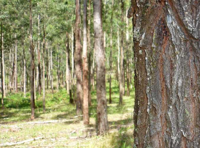 FUTURE TIMBER: Plantation forestry offers part of the solution, but biological diversity is highest in native forests.      Photo Jamie Brown / The Northern Star
