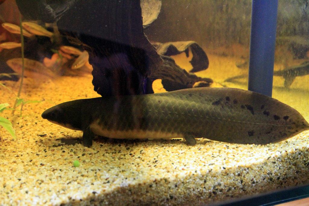 Profile: Larry the Lungfish Photo: Brendan Bufi / Fraser Coast Chronicle