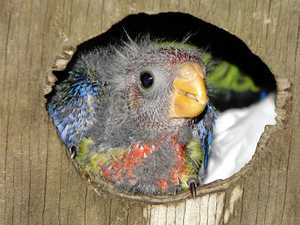 Lucky baby rosella given chance of survival