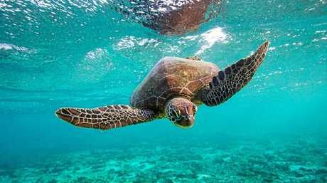 A turtle swimming in the turquoise water of the lagoon at Lady Elliot island.