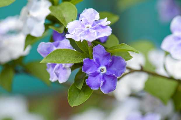 Closeup of violet brunfelsia jasmine flower.