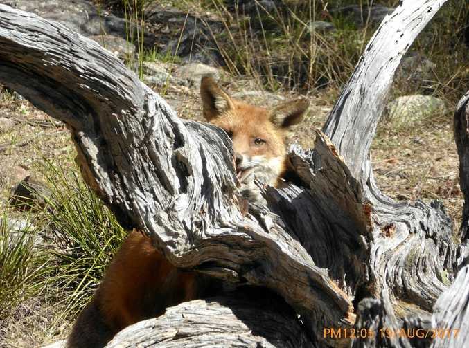 CUTE PEST: The cunning fox taken by Mario Pennisi in Stanthorpe.