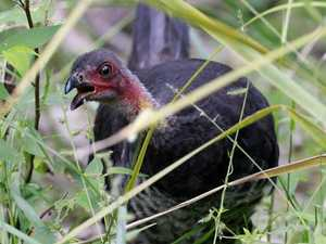 Why bush turkeys are so horny