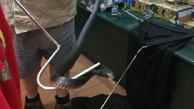 A red-bellied black snake was removed from a shop in Kuranda by Cairns Snake Removals. PHOTO: CAIRNS SNAKE REMOVALS
