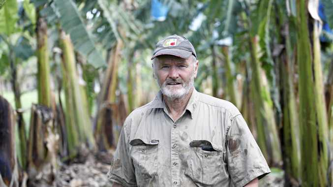 FRESH IDEAS: David Peasley at the Duranbah trial site, where he has been researching Panama disease-resistant banana varieties. INSET: Some of the bananas grown on the farm.