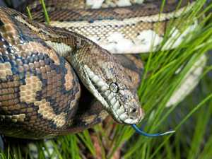 WATCH: Large carpet snake found in Groomsville shed