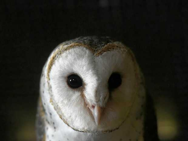 An Owl was blamed for a vehicle roll over at Fraser Island last night.