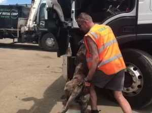 Angus the trucking dog gets into the cab