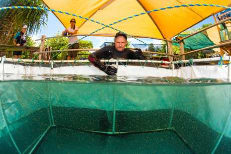 Professor Peter Harrison of Southern Cross University adding coral larvae to a mesh tent.