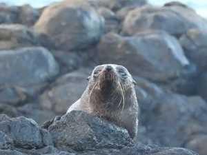 Seal at Elliott Heads