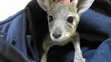 A little joey saved from the road.
