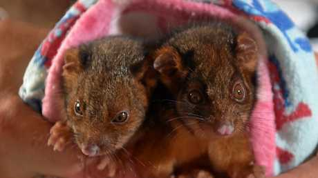 Anita Trimarchi is caring for orphaned ringtail possums.