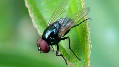 Houseflies and blowflies were found to carry a number of harmful germs that have the potential to make a person extremely ill.