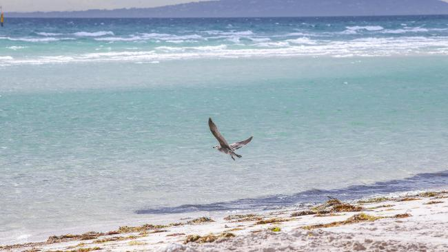 Victoria's fishery authority warned the carcass at Jubilee Point, Sorrento could attract hungry sharks.