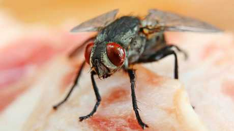 The study reveals that even if a fly comes into contact with your food for only a moment it is still enough time for all kinds of nasty bacteria to be transferred. Picture: iStock