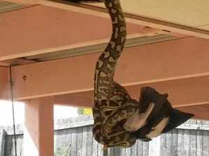 UNBELIEVABLE: Python snacks on a magpie