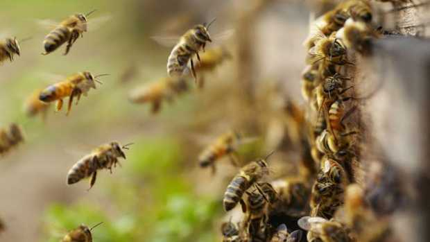 Cr Chatterton says he's spoken to Kingborough Council staff members, who have informed him there is no council policy or by-law relating to bees — but some other councils do have one.