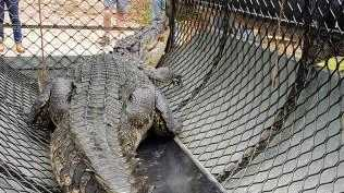 A man has been caught tampering with a crocodile trap containing a trapped 4m croc. Picture: Queensland Police