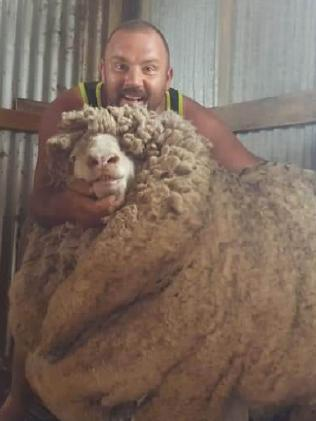 Shearer Josh Stewart had to shear two sheep that had not been shorn for three years.