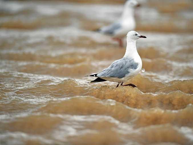 Weather photos, rainy day.Seagull walks through storm water at Alexandra Headland.