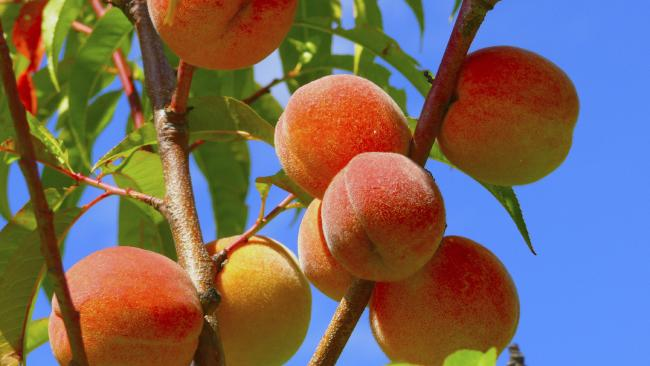 Stoner was asked to work naked while picking peaches. Photo: iStock