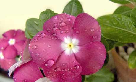 White Vinca flower.