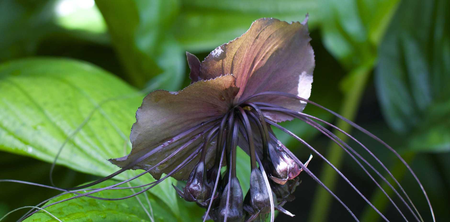 The black bat plant.