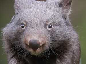 Wombat attacks tradie