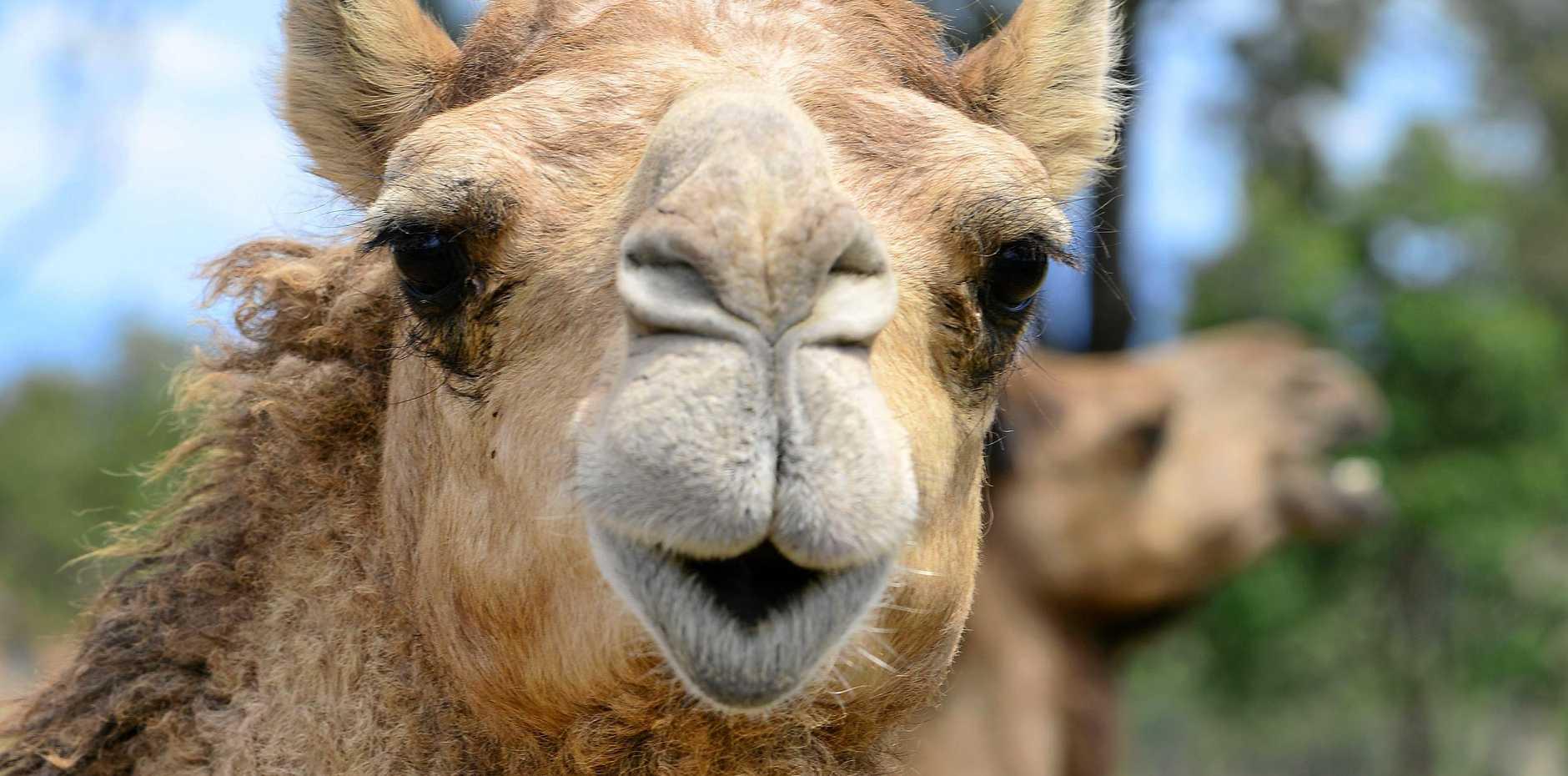 Camel milk is the key ingredient in the gelato.