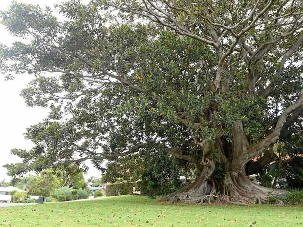 The giant fig tree on Castle Drive in Lennox Head that is scheduled to be cut down.
